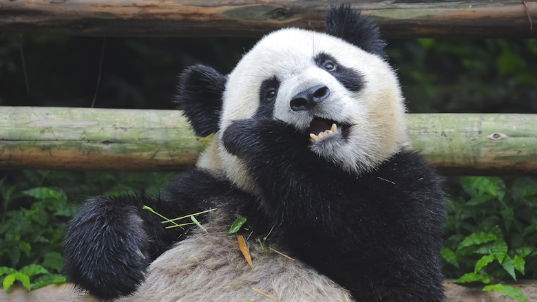 Des dents de panda inspirent les scientifiques